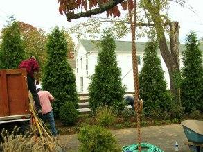 Big Green Giant Arborvitae