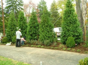 Big Green Giant Planting