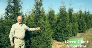 green-giant-arborvitae-photos (1)