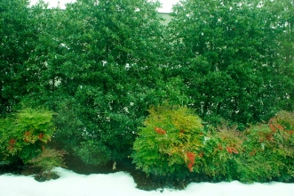 Holly Living Fence in the Snow