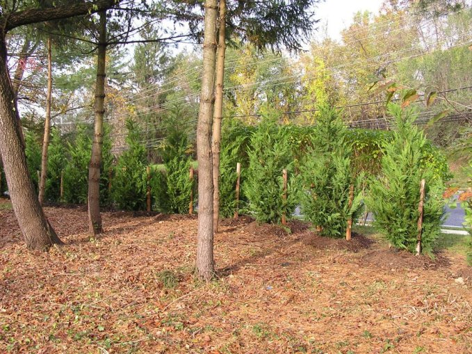 Leyland Cypress Row