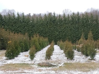 A light dusting of snow at Pryor's Nursery evergreen tree farm.