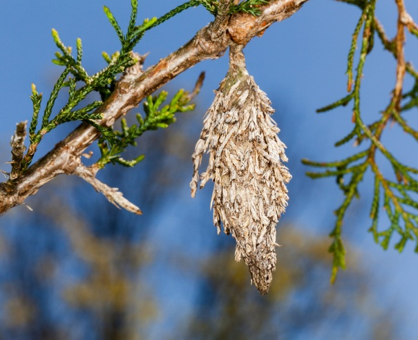 evergreen-bagworm